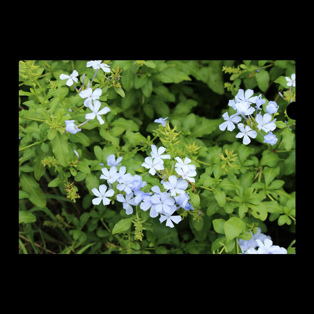 A4フルグラフィッククリアファイル [プルンバゴ(ルリマツリ)] 植物写真 #0001 A4フルグラフィッククリアファイル