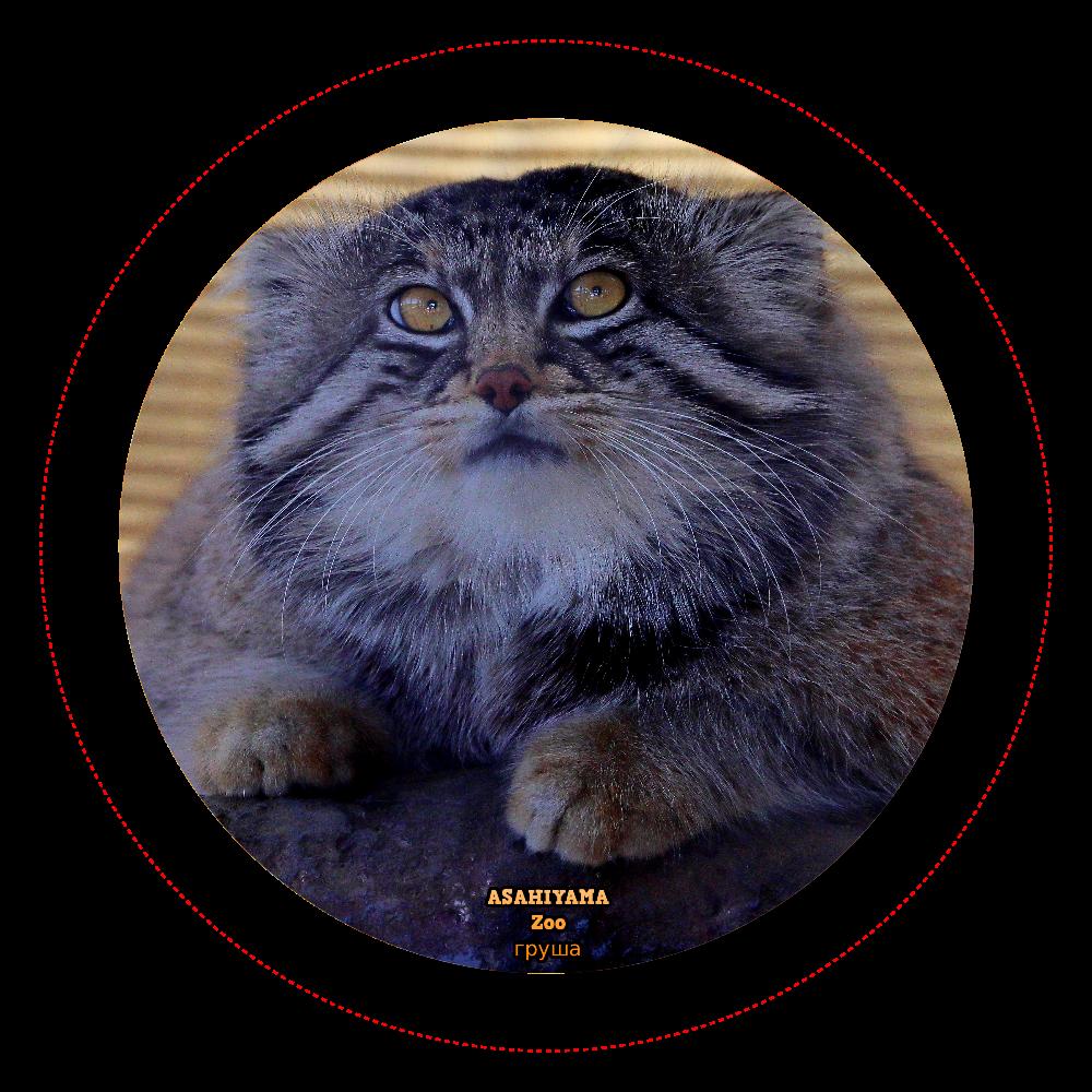 マヌルネコ「グルーシャ」(旭山動物園)  ホログラムオリジナル缶バッジ(44mm) オリジナル TinBadge44 ホログラムオリジナル缶バッジ(44mm)