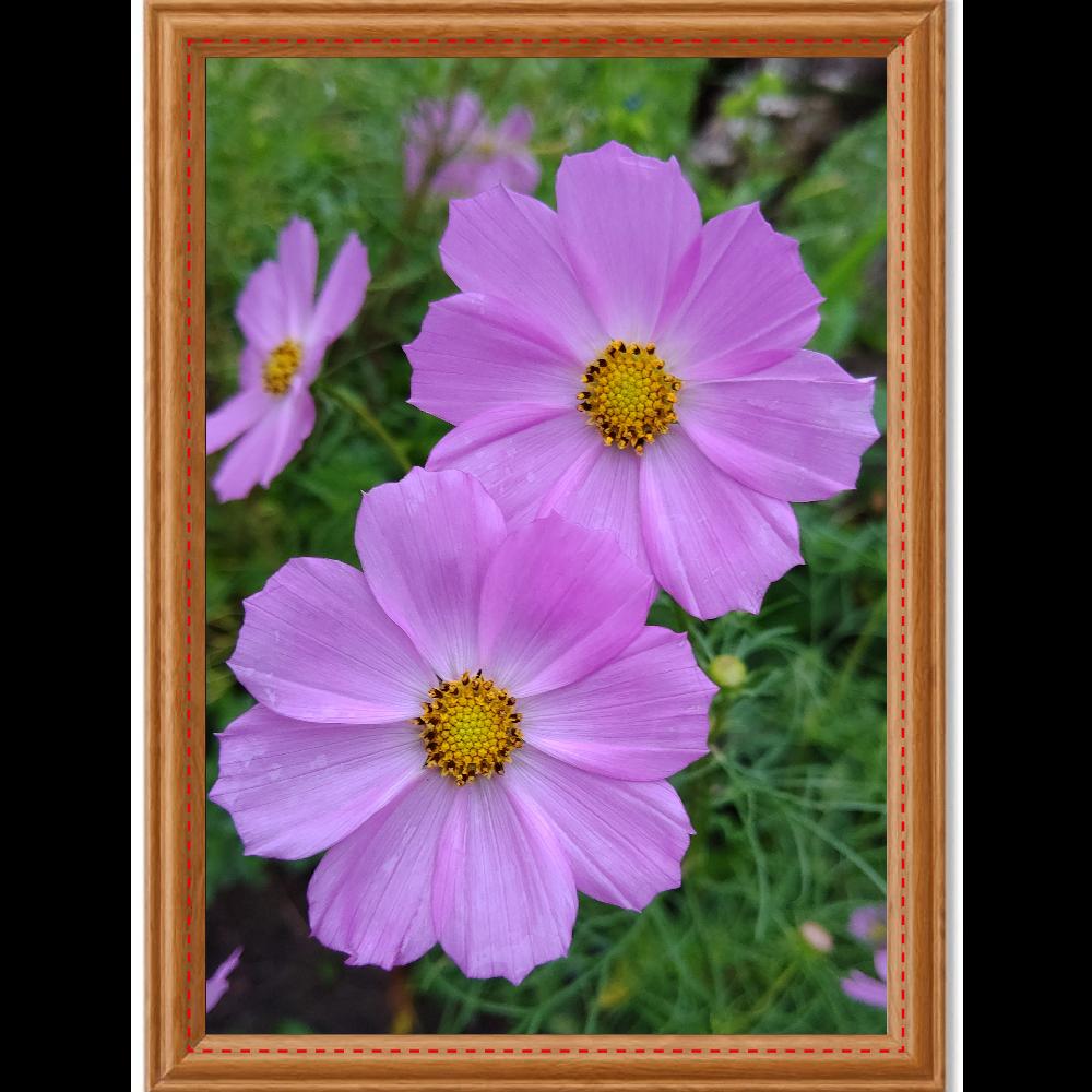 ピンクのコスモスポスター アートデザインパネル (A4 光沢紙)